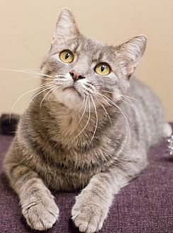 Domestic Shorthair Cat for adoption in Chicago, Illinois - Sam