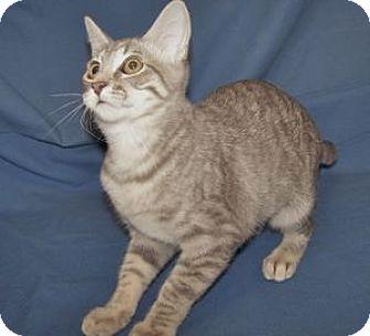 Domestic Shorthair Kitten for adoption in Colorado Springs, Colorado - K-Sasha1-Sabrina