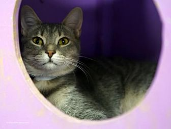 Domestic Shorthair Cat for adoption in Tucson, Arizona - Pigeon