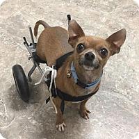 Adopt A Pet :: Pepe - Greeley, CO