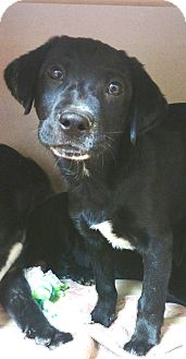 Labrador Retriever Mix Puppy for adoption in Hammonton, New Jersey - Sarge