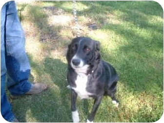 Border Collie/Labrador Retriever Mix Dog for adoption in Makinen, Minnesota - Tigger