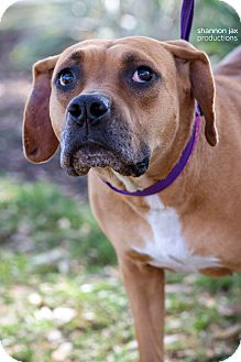Black Mouth Cur/Boxer Mix Dog for adoption in Gainesville, Florida - Moira