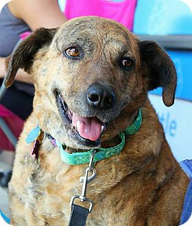 Catahoula Leopard Dog/German Shepherd Dog Mix Dog for adoption in Springfield, Missouri - Marie (SPONSORED)