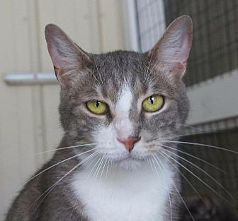 Domestic Shorthair Cat for adoption in New Bern, North Carolina - Carlisle