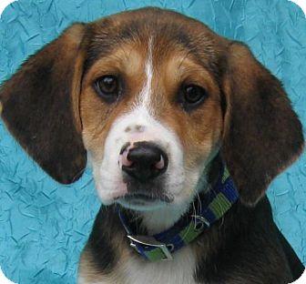 Catahoula Leopard Dog/Beagle Mix Dog for adoption in Cuba, New York - Bernie Warner-Smith