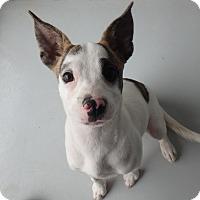 Adopt A Pet :: Trixie - Seguin, TX