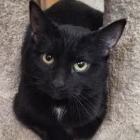 Adopt A Pet :: Hades - Nogales, AZ