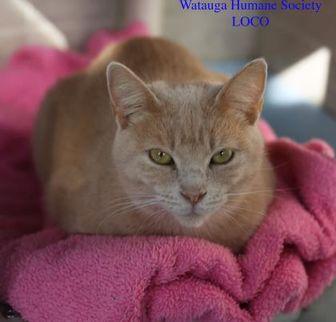 Domestic Shorthair/Domestic Shorthair Mix Cat for adoption in Boone, North Carolina - Loco