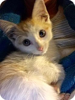 Domestic Shorthair Kitten for adoption in Sugar Land, Texas - Tesla aka Tessie