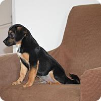 Beagle/Shih Tzu Mix Puppy for adoption in Hedgesville, West Virginia - Huckleberry