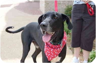 Great Dane Dog for adoption in Murfreesboro, Tennessee - Astro- ADOPTED