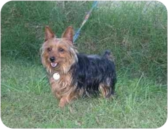 Yorkie, Yorkshire Terrier/Silky Terrier Mix Dog for adoption in Muldrow, Oklahoma - Hansford