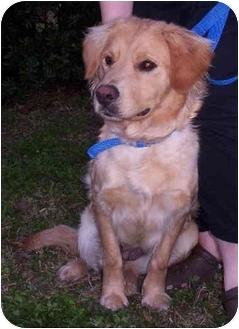 Golden Retriever Dog for adoption in Houston, Texas - GiGi