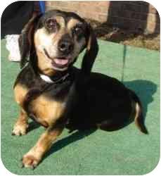 Beagle/Dachshund Mix Dog for adoption in Oak Ridge, New Jersey - Crystal