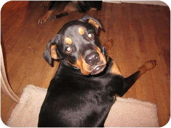 Rottweiler Mix Dog for adoption in Frederick, Pennsylvania - Claudia