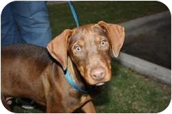 Labrador Retriever/American Pit Bull Terrier Mix Puppy for adoption in Arlington, Texas - Chase