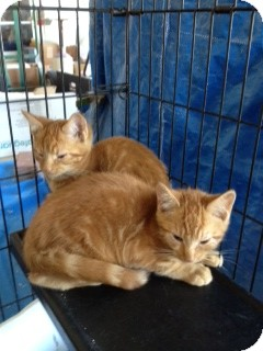 Domestic Shorthair Kitten for adoption in Ft. Lauderdale, Florida - Marmaduke