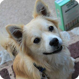 Pomeranian Mix Dog for adoption in Astoria, New York - Falcor