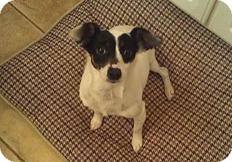 Jack Russell Terrier/Chihuahua Mix Dog for adoption in Allentown, Pennsylvania - Gigi
