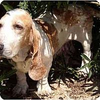 Adopt A Pet :: Lavender - Phoenix, AZ