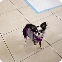 Adopt A Pet :: Zena - Rescue, CA