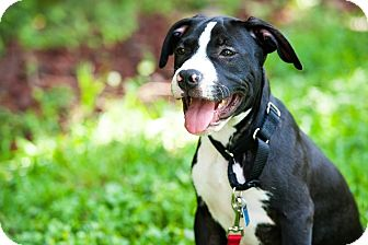 Labrador Retriever/Pit Bull Terrier Mix Dog for adoption in Houston, Texas - Max