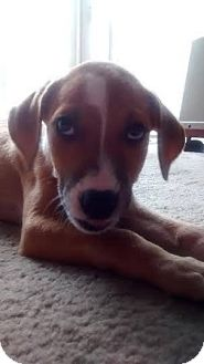 Boxer Mix Puppy for adoption in Hockessin, Delaware - Scout