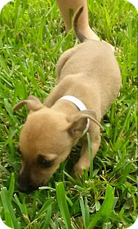 Chihuahua/Dachshund Mix Puppy for adoption in Houston, Texas - BELLA ( adopted)