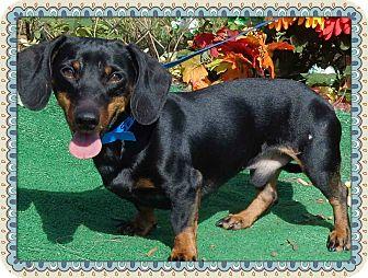 Dachshund Dog for adoption in Marietta, Georgia - WEEBLES (R)