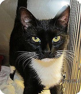 Domestic Shorthair Cat for adoption in Freeport, New York - Gypsy