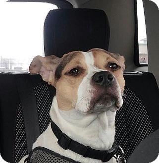 Beagle/Bulldog Mix Dog for adoption in Sugar Grove, Illinois - Cecelia