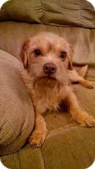 Shih Tzu/Chihuahua Mix Dog for adoption in Alabaster, Alabama - Amazing Jake