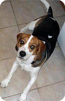 Beagle Dog for adoption in Kirkland, Quebec - Jack