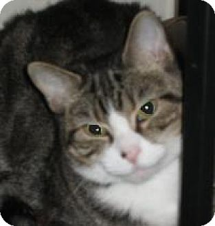 Domestic Shorthair Cat for adoption in Washington, Pennsylvania - Keira
