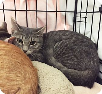 Domestic Shorthair Kitten for adoption in Lombard, Illinois - Lolly