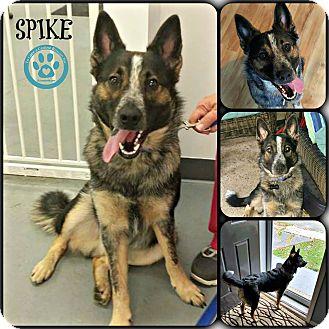 Border Collie/Australian Cattle Dog Mix Puppy for adoption in Kimberton, Pennsylvania - Spike