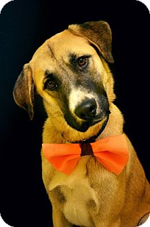 Labrador Retriever/Shepherd (Unknown Type) Mix Dog for adoption in Fort Smith, Arkansas - Crash