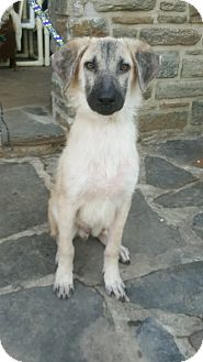 Shepherd (Unknown Type) Mix Dog for adoption in Baltimore, Maryland - Cosmo