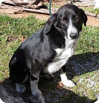 Labrador Retriever/Beagle Mix Puppy for adoption in Newark, New Jersey - Lucy