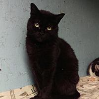 Adopt A Pet :: Munchkin - Brainardsville, NY
