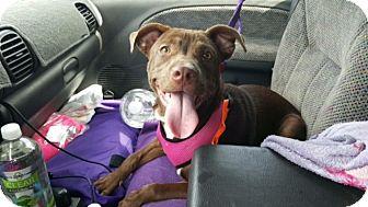 Pit Bull Terrier/Labrador Retriever Mix Puppy for adoption in Huntington, New York - Addison