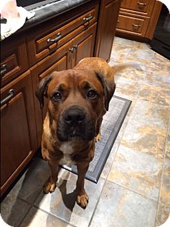 Boxer/Rottweiler Mix Dog for adoption in Barrie, Ontario - Max