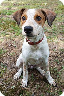 Foxhound/Australian Cattle Dog Mix Dog for adoption in Glastonbury, Connecticut - Alan