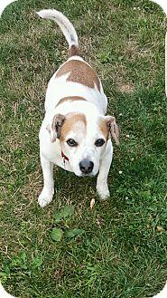 Beagle Mix Dog for adoption in Sharon Center, Ohio - Shorty
