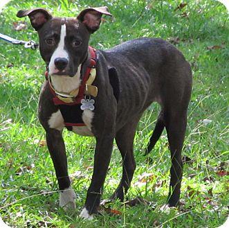 Pit Bull Terrier Mix Dog for adoption in Burgaw, North Carolina - Shannon