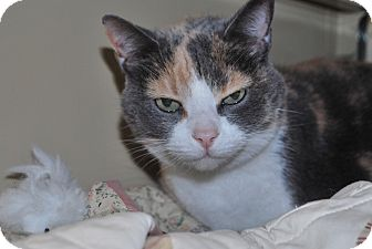 Domestic Shorthair Cat for adoption in New Castle, Pennsylvania - Bridgette