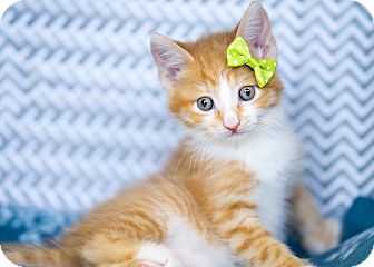 Domestic Mediumhair Kitten for adoption in Montclair, California - Aaron