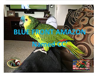 Amazon for adoption in Vancouver, Washington - CC The SpecialBlue FrontAmazon