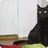Domestic Shorthair Cat for adoption in Ellicott City, Maryland - Myrtle